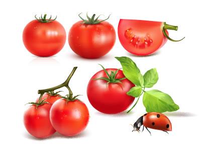 トマト、てんとう虫、葉 ベクターイラスト素材